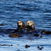 Sea Otter Mum & Pup (Martin Potter)