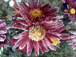 There is frost on my chrysanthemum