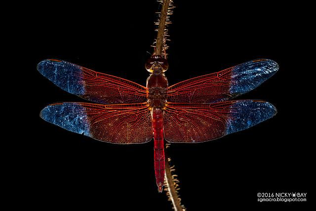 Dragonfly (Camacinia gigantea) - DSC_3235