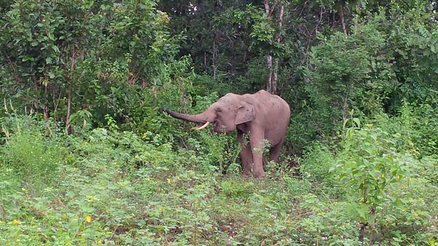 Juvenile elephant Jun at Vietnam's ECC