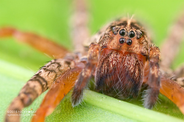 Wandering spider (Ctenidae) - DSC_1321