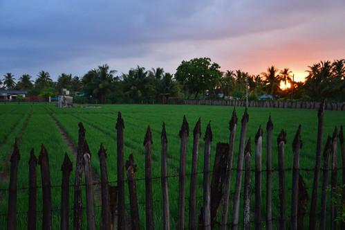 sunset nature field sri lanka srilanka onion trincomalee trinco fense закат забор лук nilaveli шриланка nilavelli тринкомали нилавели
