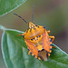Carpocoris mediterraneus by BugsAlive