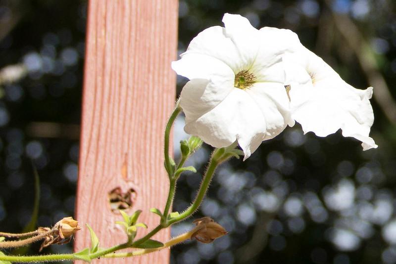 Petunia 'Rainmaster'