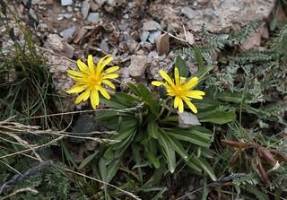 Taraxacum alpigenum (Astraceae)