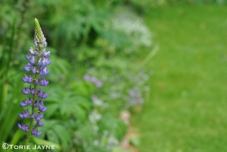 Purple Lupin in my garden