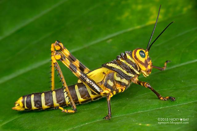 Grasshopper (Tropidacris cristata) - DSC_7599