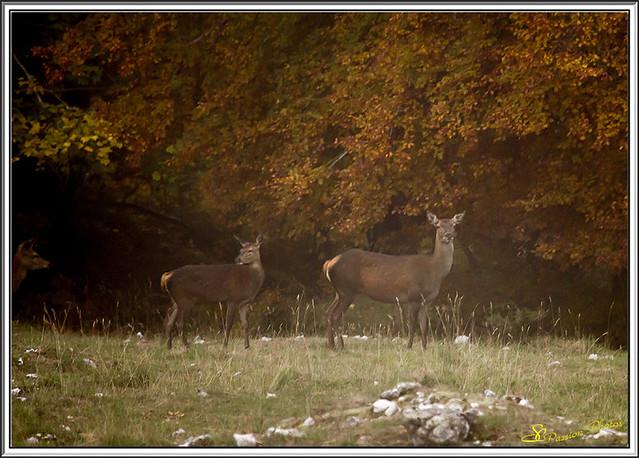 Brame du cerf Forêt d'Ambel 02