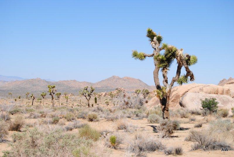 Hey, look! A Joshua Tree!
