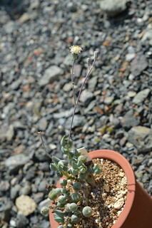 DSC_1272 Senecio citriformis セネシオ(セネキオ) 白寿楽