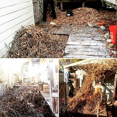 Broke down the nest of wisteria into a relatively small pile of sticks for the green bin!