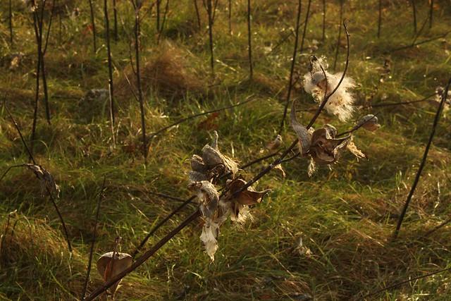 Milkweeds