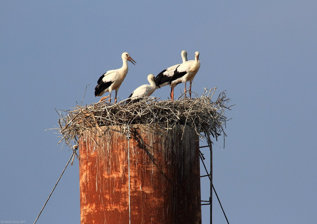 2_Storks Nest at Sf Gheorghe, Romania 2