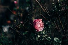 2652 Rose