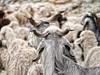 Goats of Sach Pass