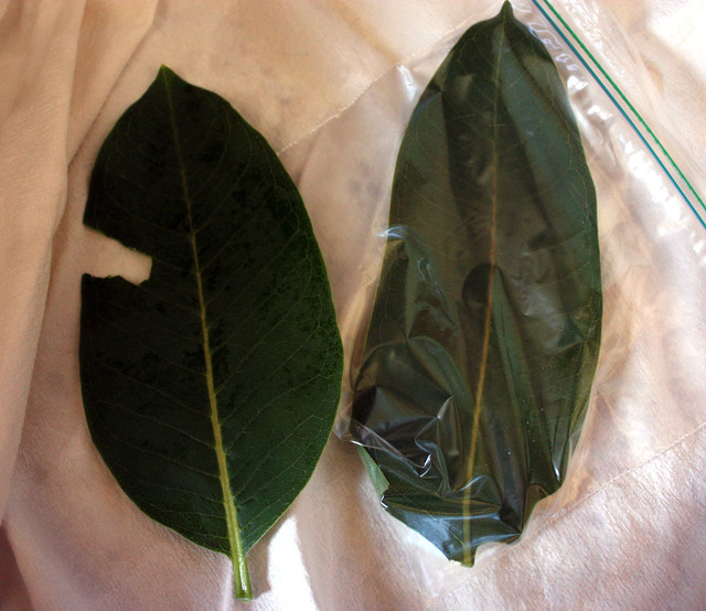one leaf with a spot torn off, and another leaf in a plastic bag