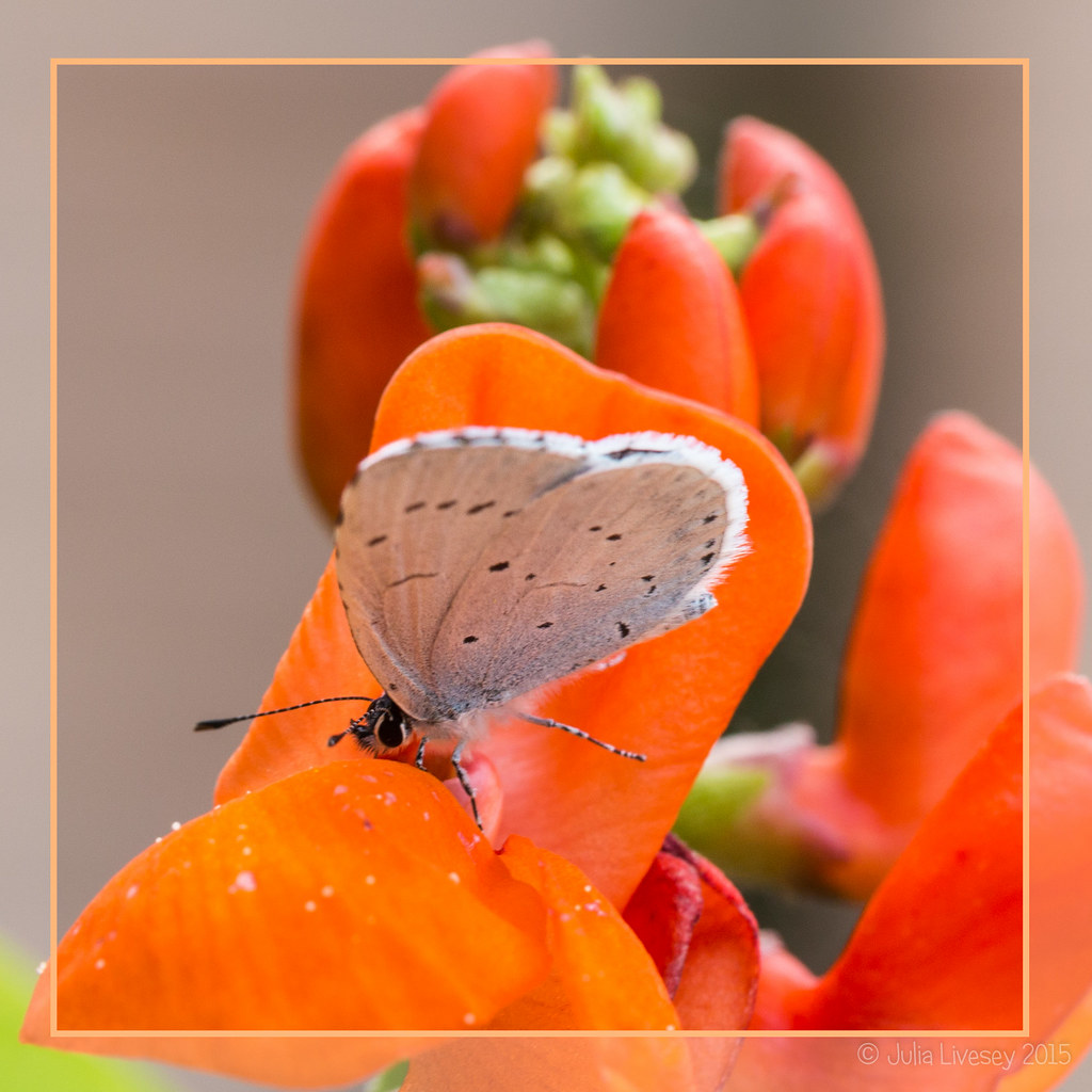 Holly Blue butterfly on a runner bean flower