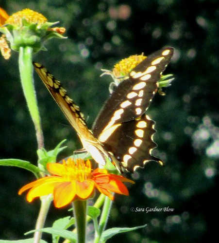 nature gardens butterfly giant butterflies sunflowers swallowtail