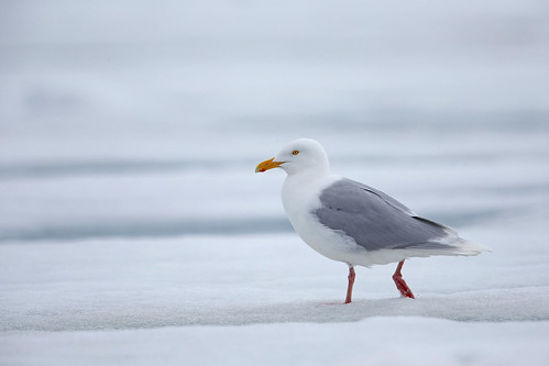 Glaucuos Gull (Vittrut)
