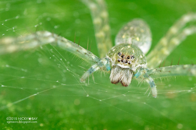Nursery web spider (Thaumasia sp.) - DSC_2980