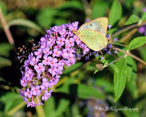 nature flying butterflies insects lepodoptera nikonphotography cloudedsulphurbutterfly butterfliesandmothsoftexas cloudedsulpurcoliasphilodice sulphurgroupofbutterflies