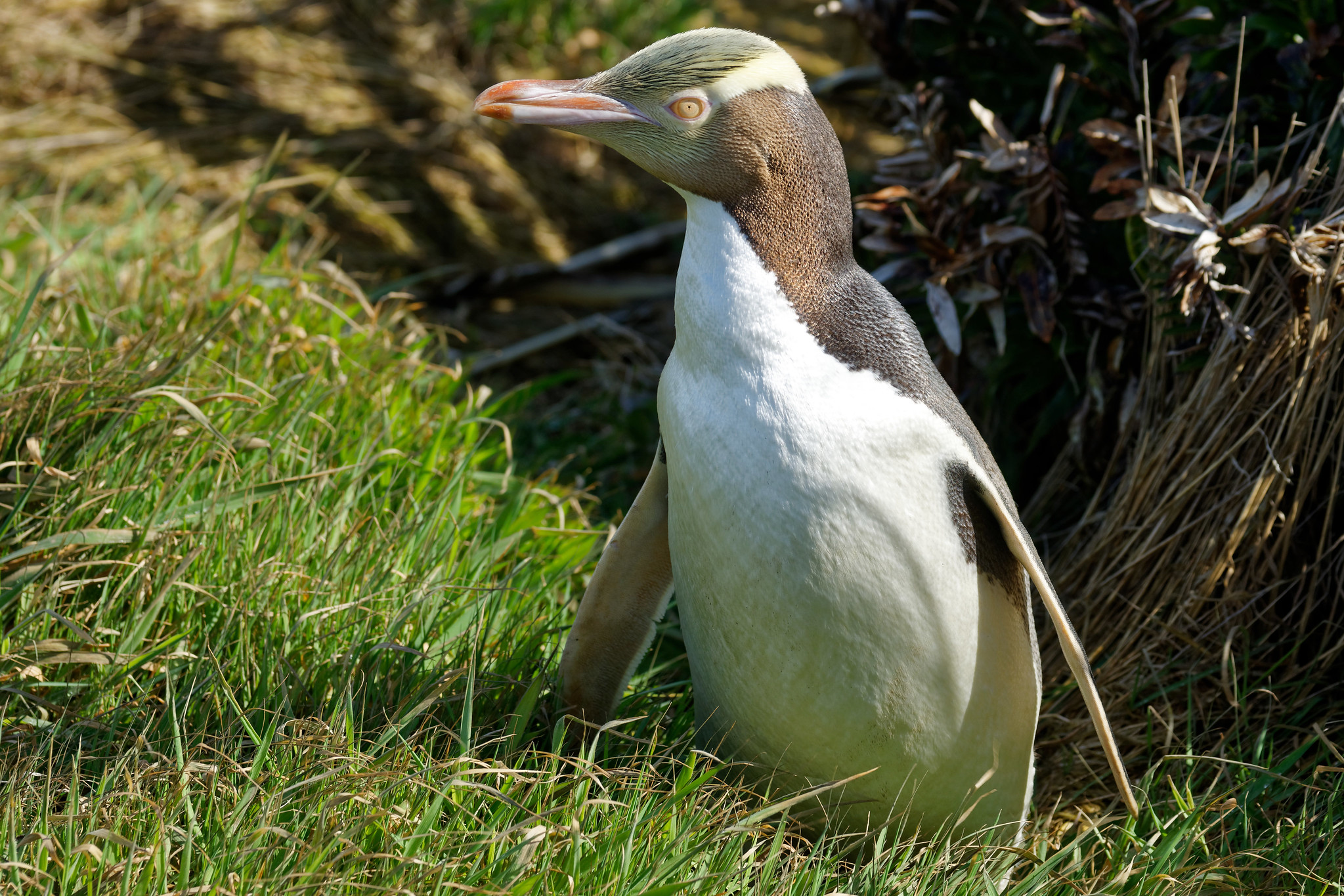 Yellow-Eyed Penguin - Curio Bay
