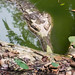 Small photo of Gharial crocodile