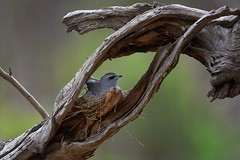 White-browed Woodswallow: Room with a view