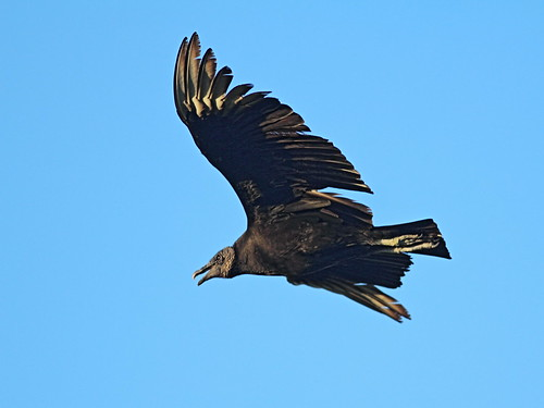 Black Vulture 20151231