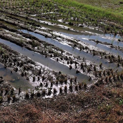 収穫を終えた田んぼ #なんと #南砺 #富山県