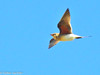 Perdiz-do-mar // Collared Pratincole (Glareola pratincola) by Valter Jacinto | Portugal