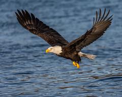 Screaming Eagles birds stories