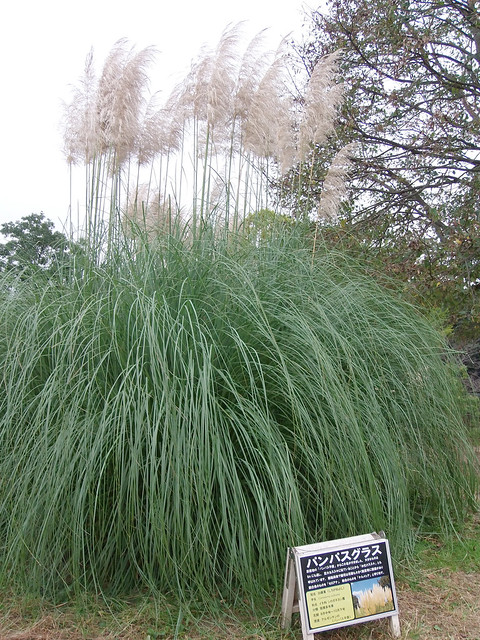 Photo:#9397 pampas grass (パンパスグラス, シロガネヨシ) By Nemo's great uncle