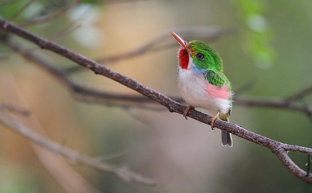*** Todier de Cuba - Cuban Tody -todus multicolor