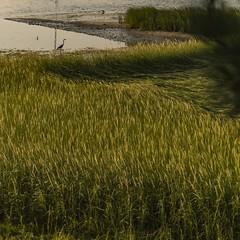 #capecod #wellfleet #heron #seagrass