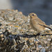 A87A4914 Wheatear by steve.ray50