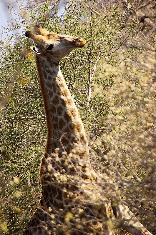 Giraffe holding its head high