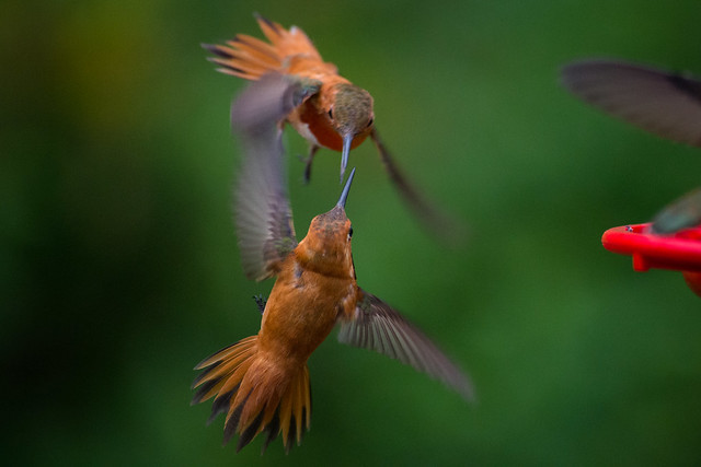 Hummingbird Combat