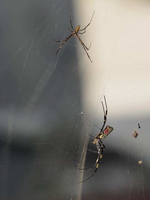 ジョロウグモの巣、横から雄雌の姿