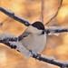 Willow tit (Poecile montanus, Parus montanus)Talltita