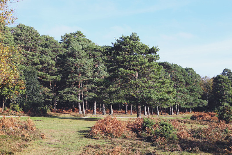 New Forest dog walk, Autumn