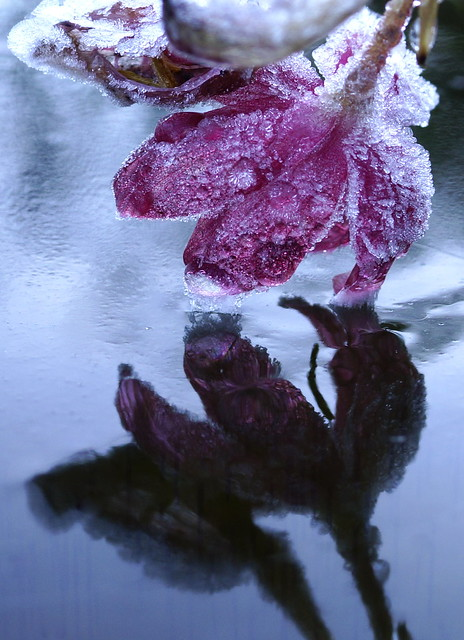 icy blossom, Sony SLT-A77V, Sony DT 30mm F2.8 Macro SAM (SAL30M28)