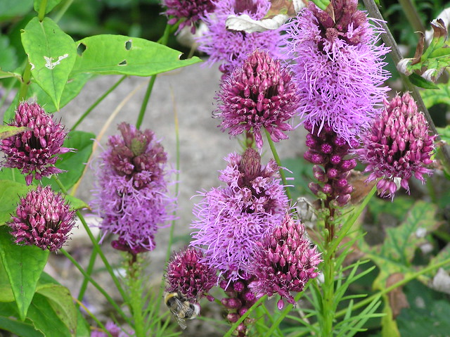 Liatris spicata & Allium sphaerocephalon