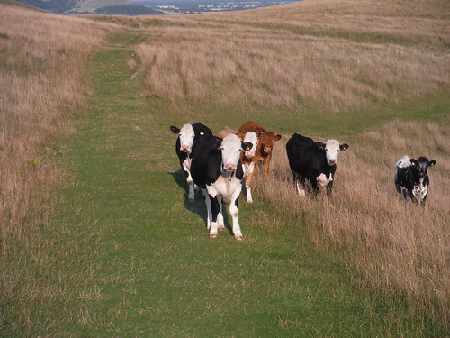 Cows on Walkers Hill