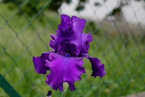 Nos Iris : floraisons 2012 - Page 2 20625585674_7960ab9712