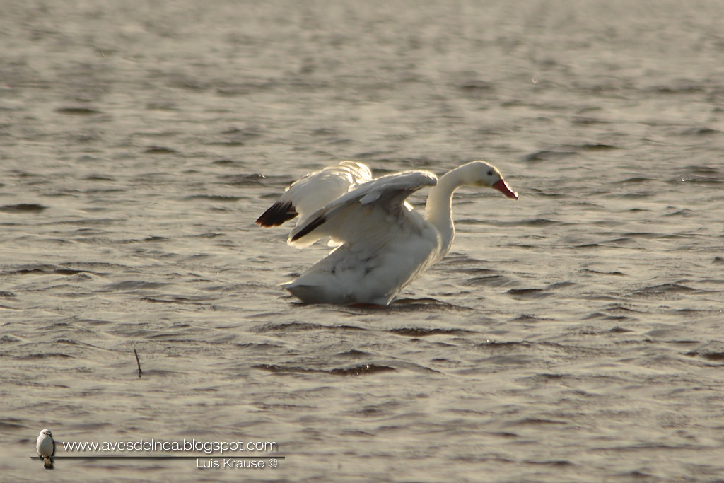 Coscoroba (Coscoroba Swan) Coscoroba coscoroba