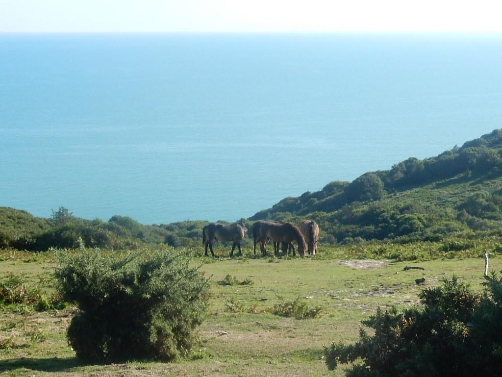 Exmoor ponies Winchelsea to Hastings