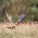 Red-footed Falcon, Aftonfalk, Falco vespertinus