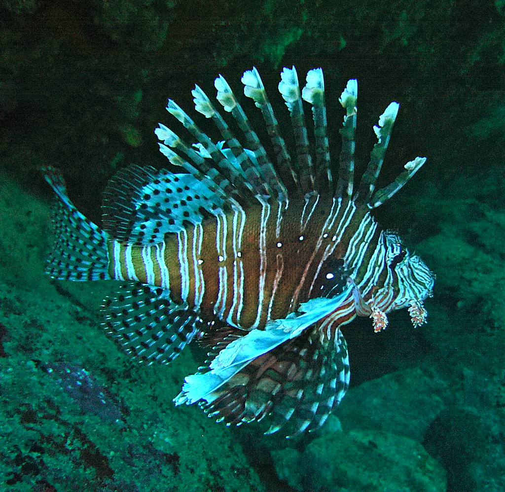 Lion Fish - Lord Howe Island 15th December 2005.