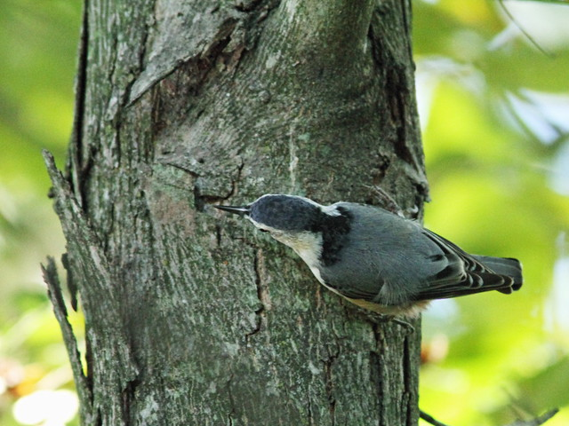 White-breasted Nuthatch 4-20150926